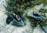 White-barred triggerfish (Rhinecanthus aculeatus)