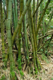 Bamboo forest, South Pacific Memorial Park