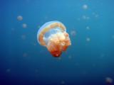 Golden Jelly (Mastigias etpisoni) Jellyfish Lake