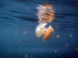 Jellyfish at the lake surface, Palau
