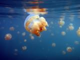 Jellyfish at the surface of Jellyfish Lake, Palau