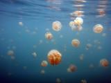 Golden Jelly (Mastigias etpisoni) Jellyfish Lake, Palau