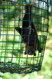 Palau flying-fox (Pteropus pelewensis)