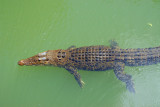 Small saltwater crocodile on the Ngerdorch River, Babeldaob, Palau