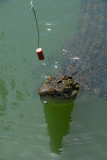 The boat operator feeding the croc