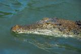 Saltwater Crocodile, Palau