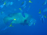 Napoleonfish surrounded by scissortail sergeants & blue and gold fusiliers (Caesio teres)