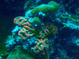 Coral with redish color, Palau
