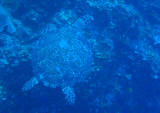 Sea turtle swimming along the Big Drop-off, Palau