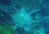 Green sea turtle (Chelonia mydas) Palau