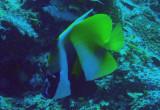 Masked bannerfish (Heniochus monoceros) Palau