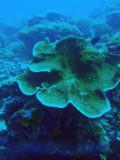 Coral, German Channel, Palau