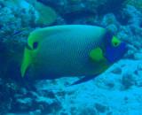 Yellowmask Angelfish (Pomacanthus xanthometopon) Palau