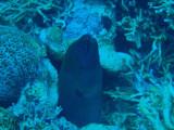 Undulated moray (Gymnothorax undulatus) Palau