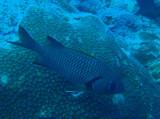 Bigscale soldierfish (Myripristis berndti) Palau