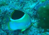 Saddled butterflyfish (Chaetodon ephippium) Palau