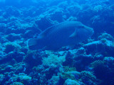 Napoleonfish - Giant Wrasse (Cheilinus undulatus)