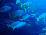 Yellowfin Emperors (Lethrinus erythracantus) Palau