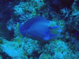 Vlaming's Unicornfish (Naso vlamingii) Palau