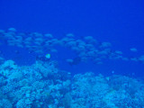 School of fish over the reef