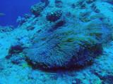 Anenome at Blue Corner