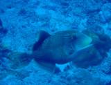 Yellowmargin Triggerfish (Pseudobalistes flavimarginatus) Palau