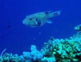 Guineafowl Pufferfish (Arothron meleagris) Palau