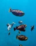 Vaming's unicornfish (Naso vlamingii) Palau