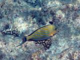 Striped surgeonfish (Acanthurus lineatus) Palau