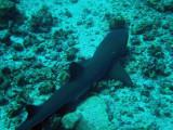 Whitetip Reef Shark, Blue Corner, Palau