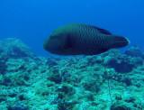 Napoleonfish (Cheilinus undulatus) Blue Corner, Palau