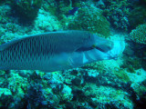 Napoleonfish (Cheilinus undulatus) extending its mouth