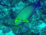 Yellowfin Surgeonfish (Acanthurus xanthopterus) Palau