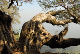 Impressive tree on the shore of Lake Tana at the Ghion Hotel