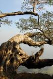 Tree, Ghion Hotel