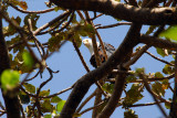 African fish eagle in a tree at the Ghion Hotel