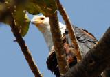 African Fish Eagle, Bahir Dar, Ethiopia