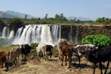 Cattle with the Blue Nile Falls