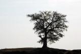 Large tree on a ridge