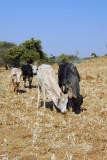 Cattle, Ethiopia