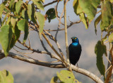 Greater Blue-eared Glossy Starling, Ethiopia