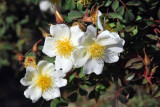 Abyssinian Rose (Rosa abyssinica) Simien Mountains
