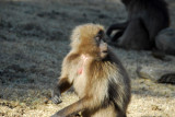 Although called baboons, the Gelada are actually monkies