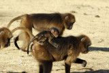 Gelada infant riding its mother's back