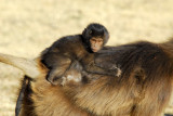 Gelada baby clinging on for the ride