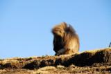 Large male Gelada along the escarpment