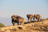 Gelada walking along the escarpment, Simien Mts
