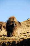 Gelada appreciating his warm coat in the wind