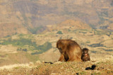 Mother and baby Gelada, Simien Mountains