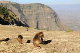 Gelada, Simien Mountains